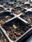 Hablitzia seedling!