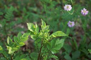 Ecos purple potato-crownvetch