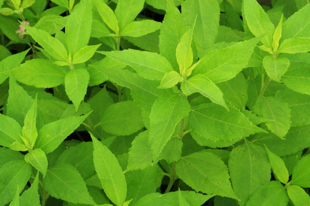 43792512 - jerusalem artichoke plant