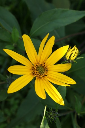 35172408 - jerusalem artichoke flower in garden