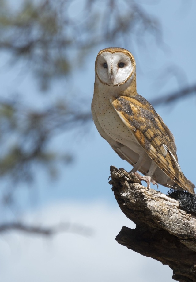 19124919 - barn owl perched on a tree stump