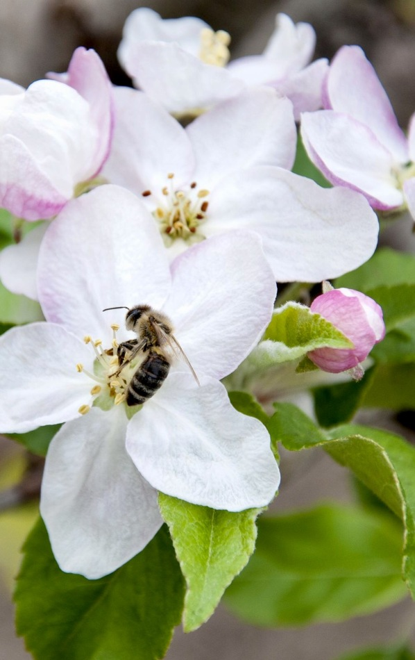 13217562 - close up of bee pollinating apple blossom