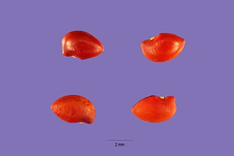 A. californica seed to the left, A. fruticosa seed to the right. Images from the USDA database.
